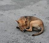 Stray dog sleeping on the pavement in Kuala Lumpur, capital city of Malesia.