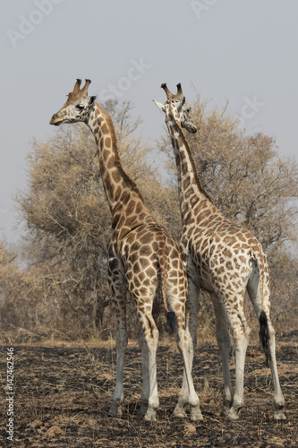 Poster Two giraffes standing with their backs turned with their heads in the scorched s