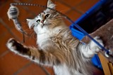Young Norwegian Forest Cat playing with a toy