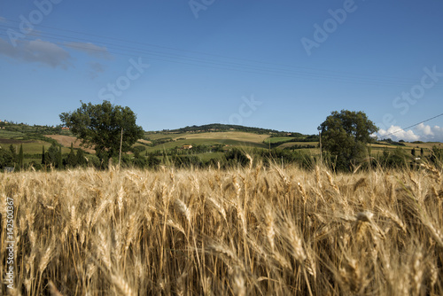 Deurstickers Toscane field of wheat in Tuscany in spring