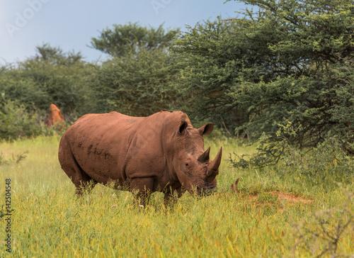 Aluminium Neushoorn White rhino, Waterberg Plateau National Park, Namibia