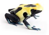 Yellow back poison dart frog Dendrobates tinctorius. Isolated on white.
