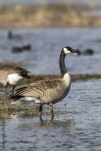 Goose stands in shallow water. Poster