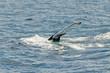 Swimming humpback whale