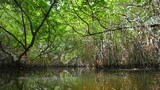 Exploring wilderness of mangrove forest. Natural beauty of tropical climate in Sri Lanka wetlands - 142547133