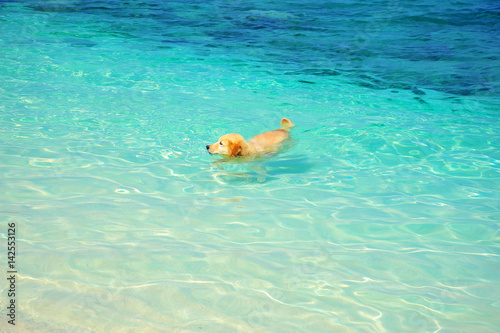 Golden Retriever Dog Swimming on Beach