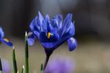 Blue iris flower closeup