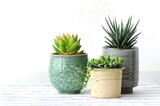 Fototapety Various Ceramic pot of Succulent Haworthia plants for Home Decoration