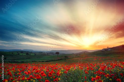 Poster Klaprozen Campo di papaveri al tramonto