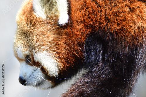 Poster red panda