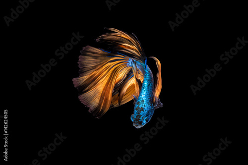 Colourful Betta fish,Siamese fighting fish in movement on black background Poster