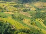 Rizières jaunes en terrasses au Vietnam