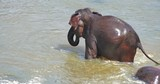 Cute playful happy elephant sprays water with trunk while bathing in river. Happy and cheerful animal behavior - 142652738