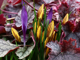 Paints of early spring./The group of violet and yellow-brown crocuses has grown in a flower bed among motley leaves heuchera.