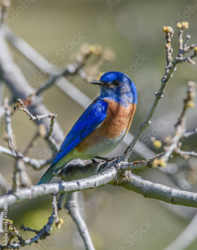 Western Bluebird sitting on treebranch Poster