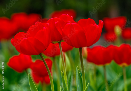 red-tulips-with-dew-drops-on-green-blurred-background-of-spring-garden
