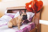 Cute french bulldog puppy sitting on bed next to heart baloons.