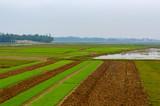 Rice fields, began to grow