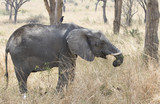 young elephant eating shrub branches in a dry bush savannah