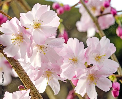 Foto op Canvas Azalea Japanische Kirschblüten, Frühlingserwachen, Glückwunsch, alles Liebe: Verträumte Kirschblüten im Frühling :)