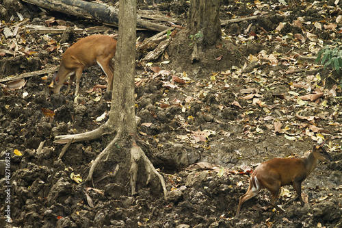 Poster This picture shows am image of  Muntjac deer, feeding on a salt lick