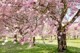 Japanische Kirschblüten, Frühlingserwachen, Glückwunsch, alles Liebe: Verträumte Kirschblüten im Frühling :) - 142718983