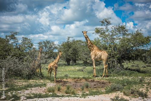 Poster Giraffes in Etosha national park, Namibia