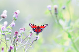 the butterfly of peacock eye sitting on the spiky flowers on a summer meadow