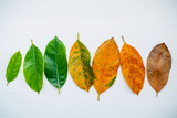 Leaves of different age of jack fruit tree on white wooden background. Ageing  and seasonal concept colorful leaves with flat lay and copy space. - 142742715