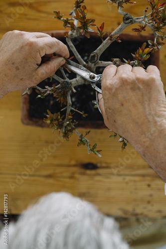 Senior man taking care of bonsai plant Poster