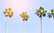 Several palms against the blue sky and lit by the sun in the city of Los Angeles.