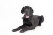 Deutsche Dogge in schwarz als Freisteller