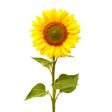 Fototapety Sunflower isolated on white background. Flat lay, top view. Flower