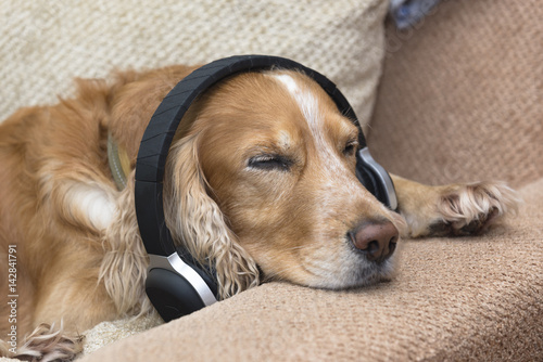 Poster Dog listens to music in headphones
