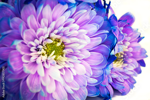 chrysanthemum macro flower