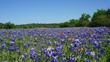 Texas Bluebonnets and Indian Paintbrushes