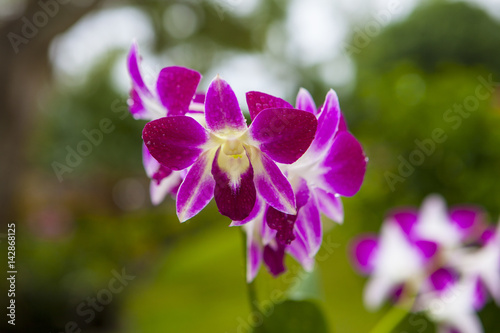 Pink Singapore Orchids Poster