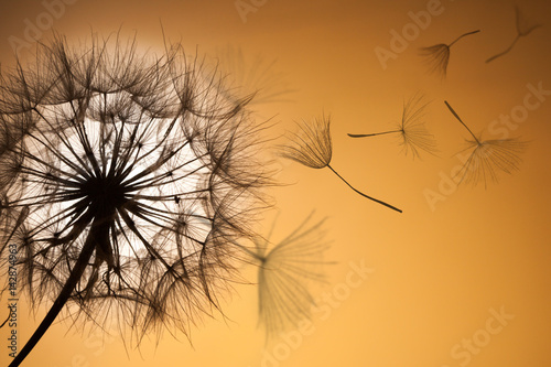 Dandelion silhouette fluffy flower sunset sky