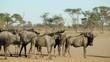 Herd of blue wildebeest (Connochaetes taurinus) in dust, Kalahari desert, South Africa