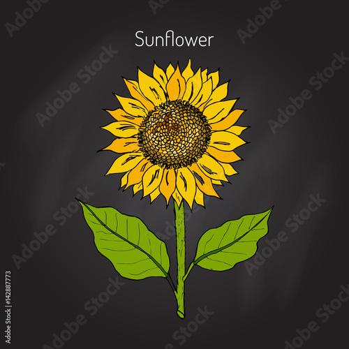 Sunflower. Vector illustration