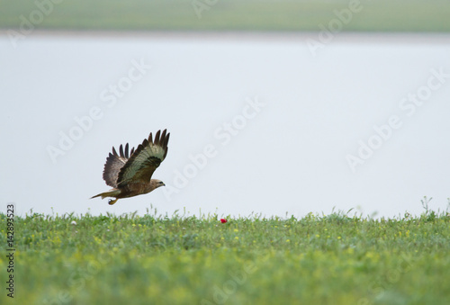 Poster Common buzzard (Buteo buteo) in flight over field, Kalmykia, Russia
