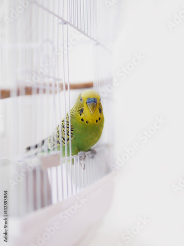Aluminium Papegaai Green wavy parrot is sitting on a white cage. The parrot looks out of the cage.