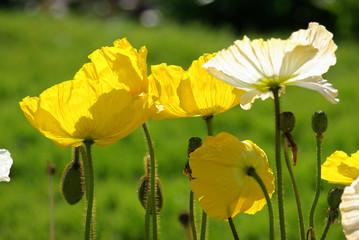 Pavots jaunes et blancs au printemps au jardin