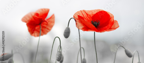 Two red poppies in bright evening light. - 142912559