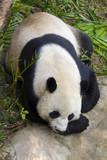 Image of a panda on nature background. Wild Animals.