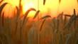 Wheat field. Ears of golden wheat close up. Beautiful nature sunset landscape. 4K UHD video 3840X2160