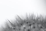 Wassertropfen im Samen des Lösenzahn