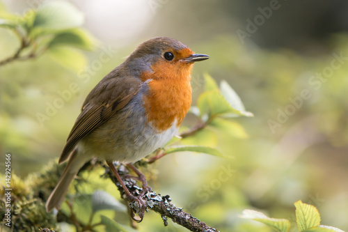 Poster Robin (Erithacus rubecula) singing on branch