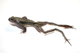 Dried Frog on White Background
