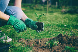 woman with green gloves planted in a bed of small marigold, gardening in a springtime  - 142968318